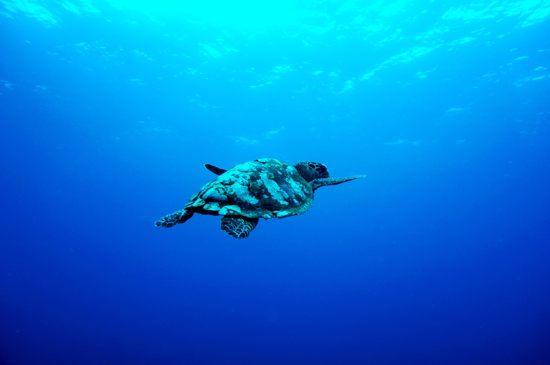 Tortuga marina en Indonesia