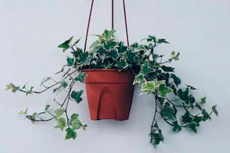plantas-de-interior-hiedra