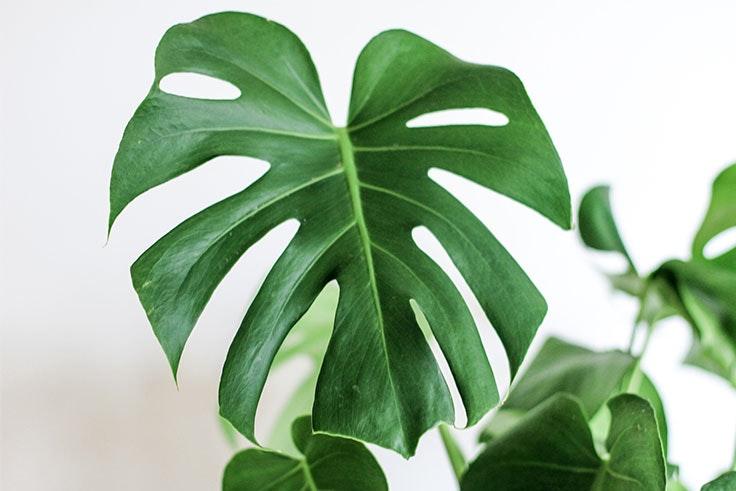 plantas-de-interior-costilla-de-adam