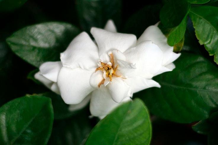 plantas-de-interior-gardenia