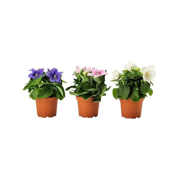 Vasos de platycodon, 1,99€